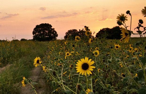 sunflower_500