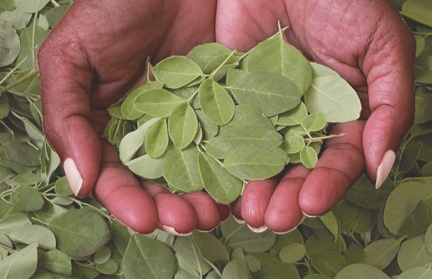 Cutting Through the Hype: Moringa May Be the Next Miracle Maker